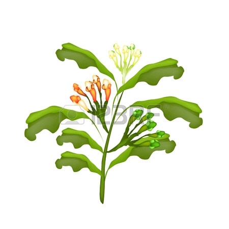 Vegetable And Herb, Vector Illustration Of Clove Plant With Green.
