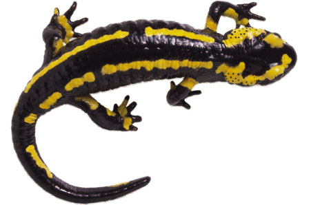 Salamanders clipart - Clipground