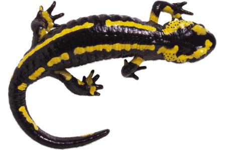 Salamander Clip Art.