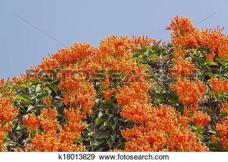 Stock Photograph of Orange trumpet, Flame flower, Fire.