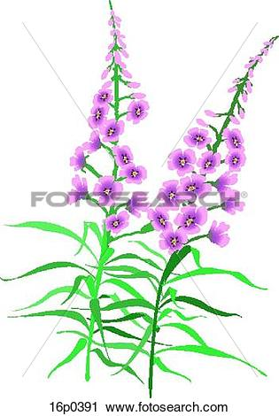 Clipart of Fireweed 16p0391.