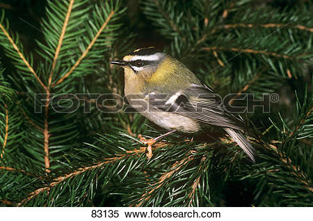 Stock Image of firecrest on twig / Regulus ignicapillus 83135.