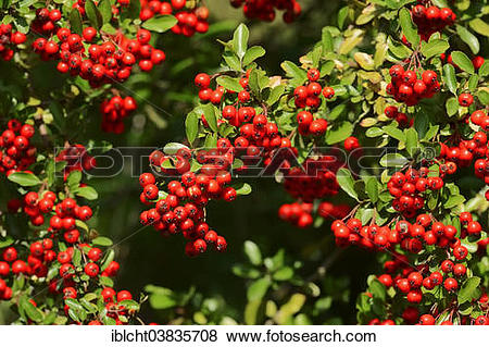 """Pictures of """"Firethorn (Pyracantha sp.) with berries, North Rhine."""