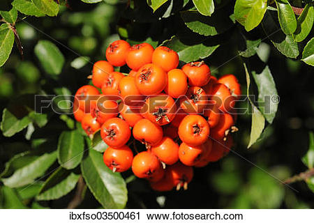 """Stock Photography of """"Firethorn or Pyracantha (Pyracantha sp."""