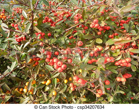 Stock Photos of Dense wall of scarlet firethorn (red and orange.