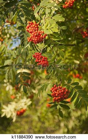 Stock Photography of Pyracantha Firethorn Orange Berries k11884390.