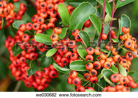 Stock Photo of Firethorn (Pyracantha coccinea) we030682.