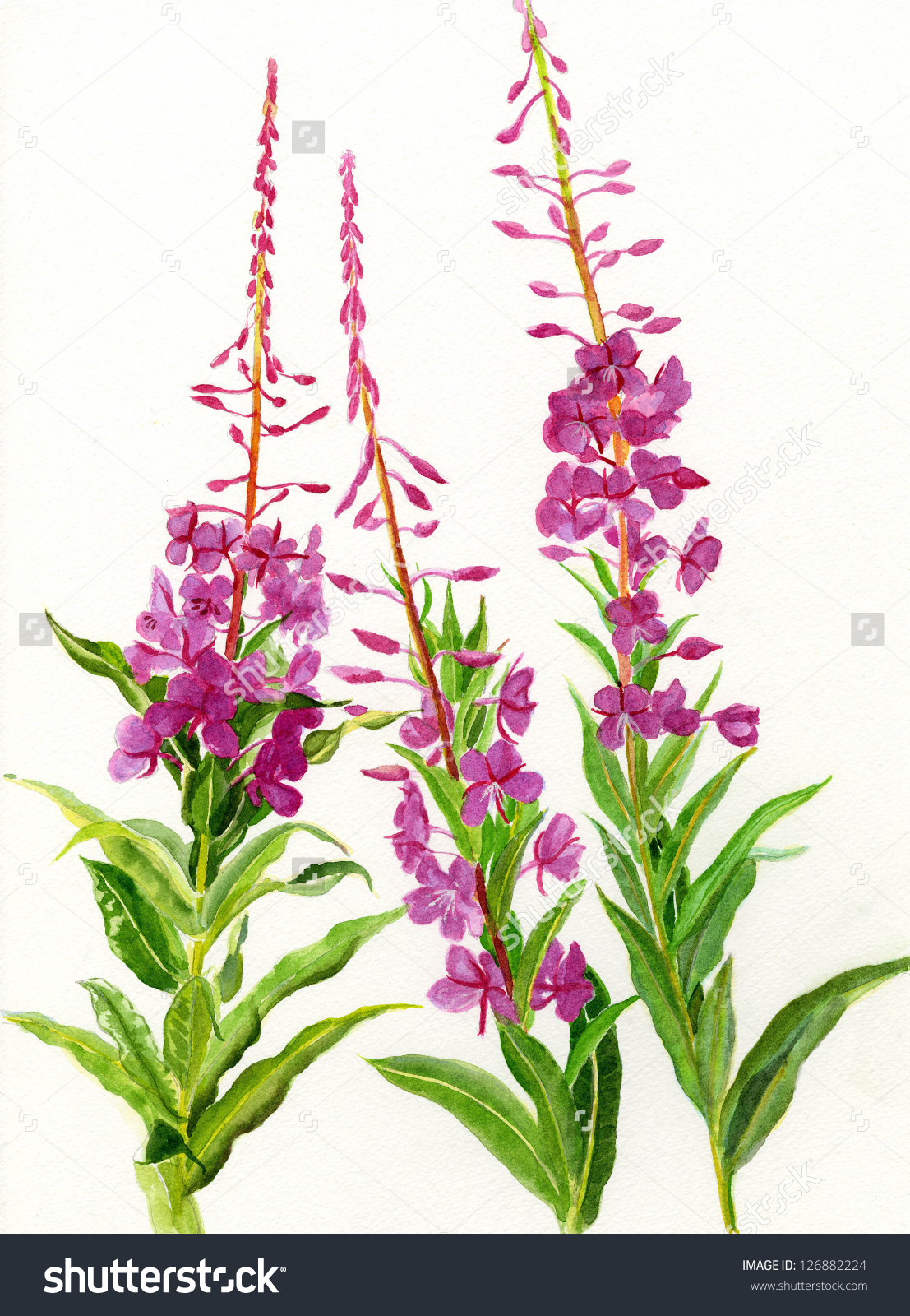 Fireweed Stock Illustration 126882224.