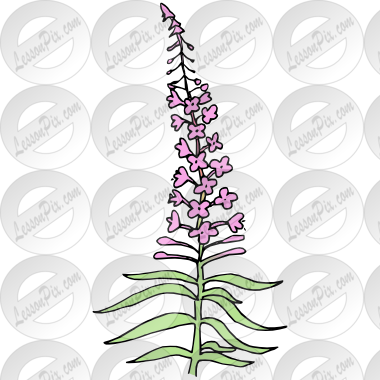 Fireweed Picture for Classroom / Therapy Use.