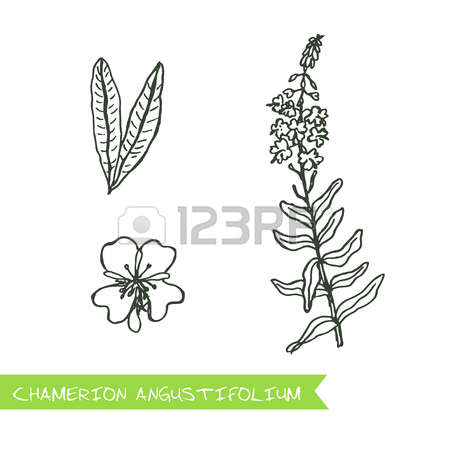 98 Fireweed Cliparts, Stock Vector And Royalty Free Fireweed.