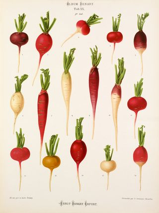 SUPERFOODS: Fare Healthy Style ㄨ THE RADISH — Fare Healthy.