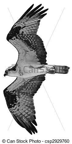Stock Illustration von Fischadler,.