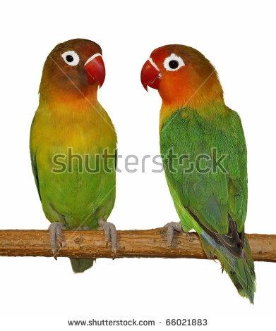 Lovely Lovebird Vector Stock Vector 5167210.