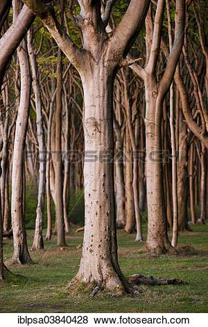 """Pictures of """"Ghost Wood in Nienhagen, Mecklenburg."""