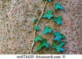 Hedera helix Stock Photo Images. 426 hedera helix royalty free.