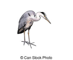 Ardea Stock Illustrations. 64 Ardea clip art images and royalty.