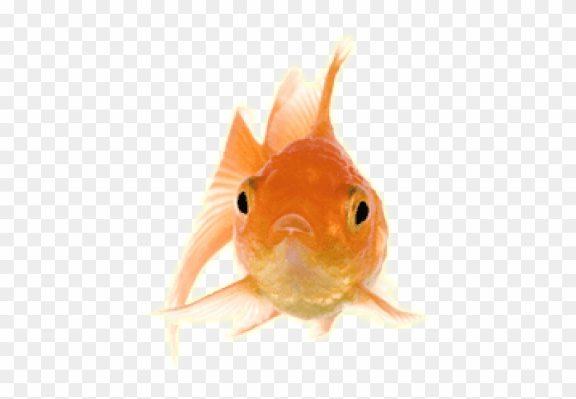 Free Png Download Gold Fish Front Png Images Background.