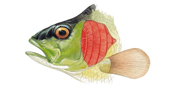 Fish Gills PNG Transparent Fish Gills.PNG Images..