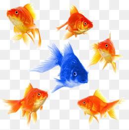 Download Free png hd fish goldfish, Goldfish, S.