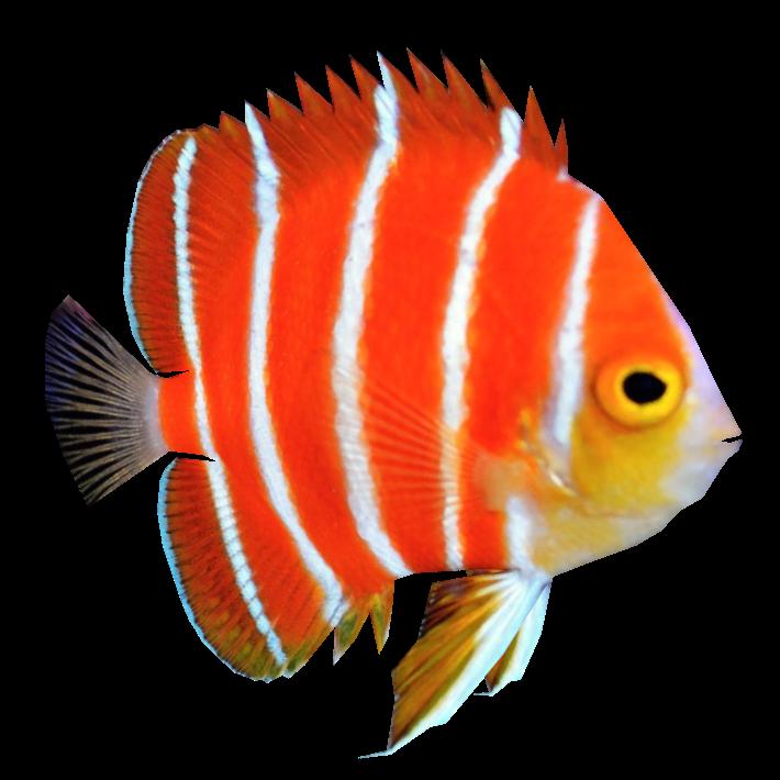 Angel Fish PNG HD Transparent Angel Fish HD.PNG Images..