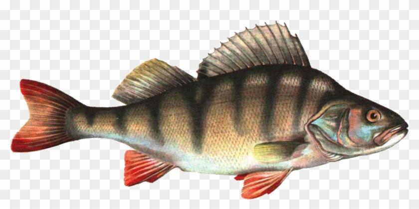 Fish Png.