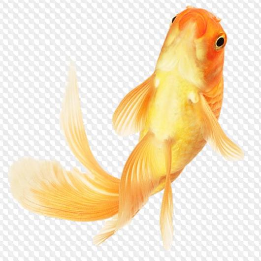 Fish png, psd › Goldfish PNG, 13 images, download.