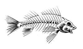 Fish Skeleton Stock Illustrations.