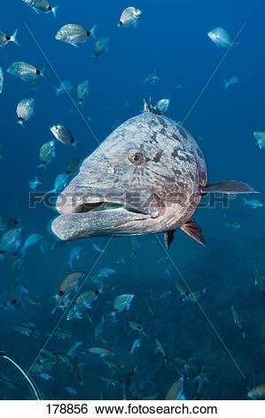 Stock Images of Potato Grouper, Potato Bass (Epinephelus tukula.