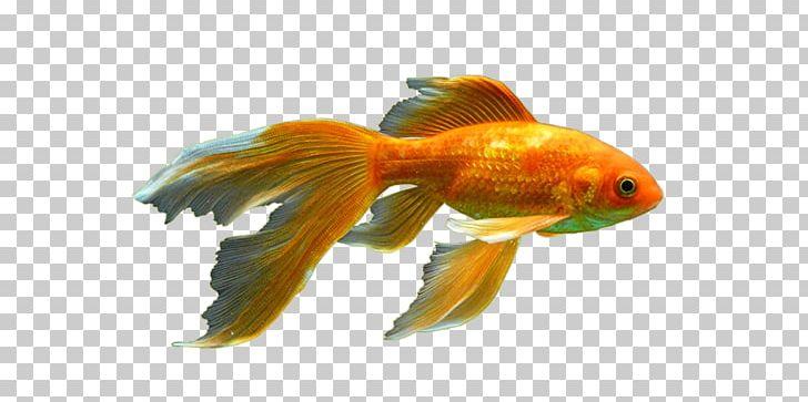 Peters' Elephantnose Fish Red Cap Oranda Bony Fishes Aquarium PNG.