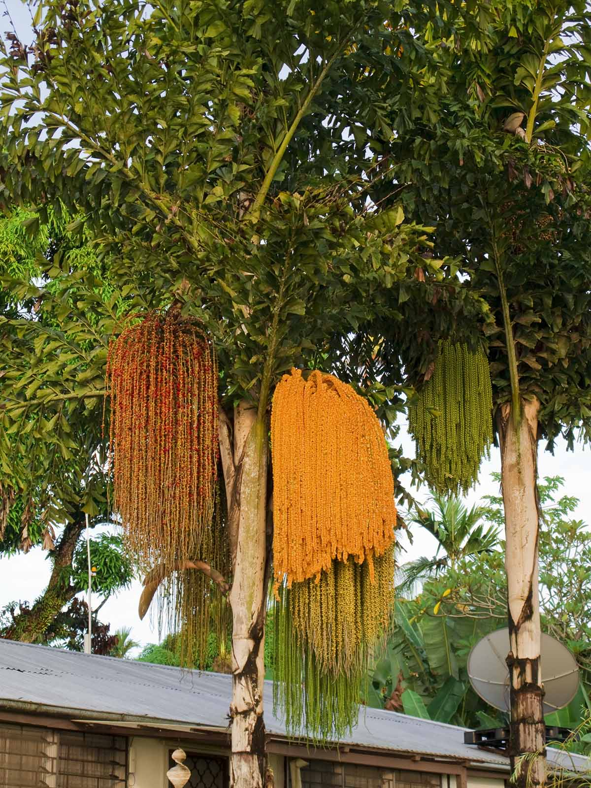 Fishtail Palms (Caryota gigas).