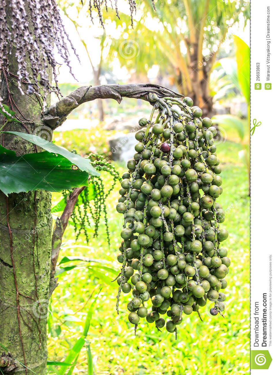 Burmese Fishtail Palm Stock Photos.