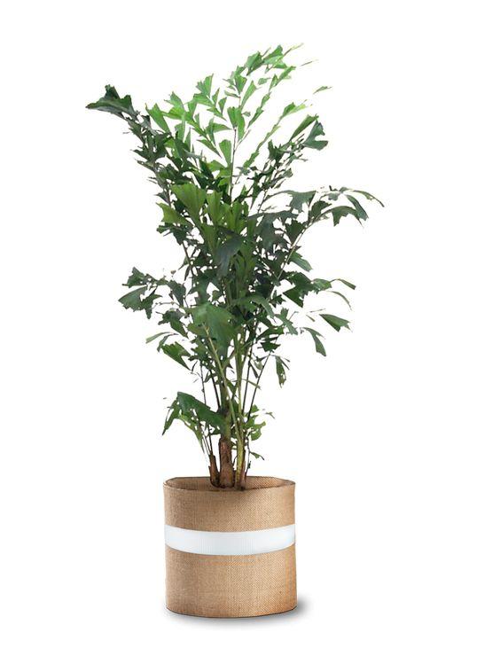 Buy Fishtail Palm Trees Buy Indoor Plants OKL.