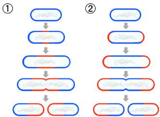 Binary Fission Online Biology Dictionary Clipart.