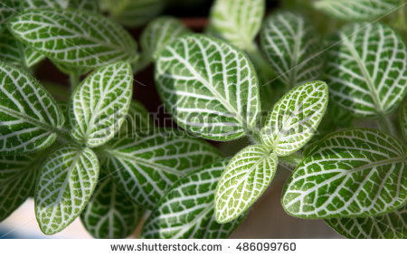 """fittonia Verschaffeltii"" Stock Images, Royalty."