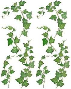 Botanical illustration of ivy leaf by Lizzie Harper.