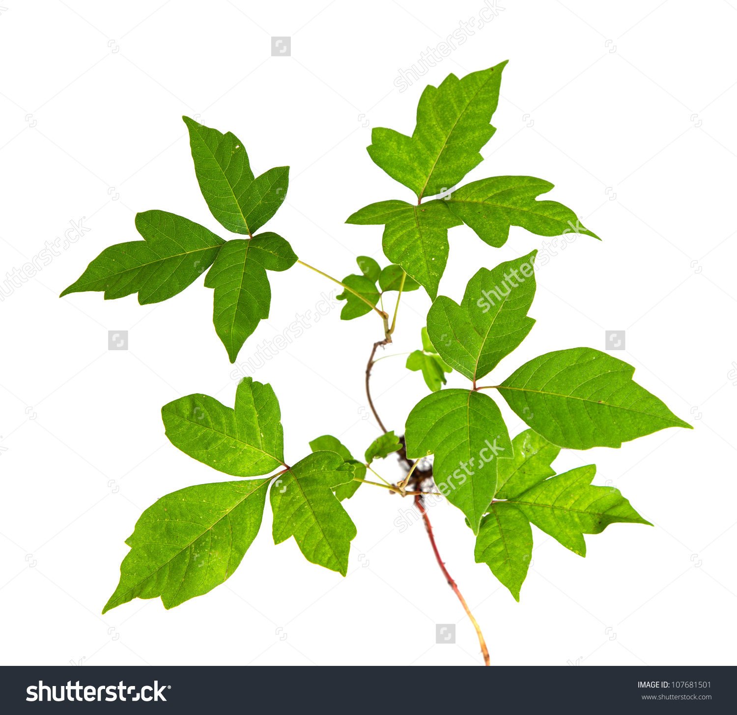 Three Leaves Poison Ivy Closeup Isolated Stock Photo 107681501.
