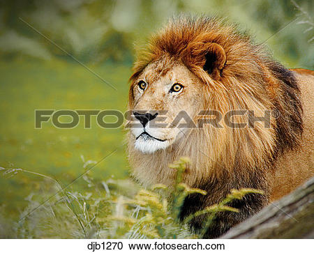 Stock Photography of Lion, adult male, head and shoulders.