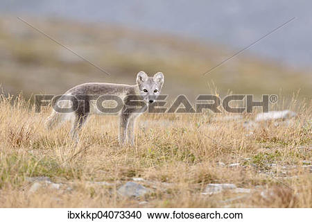 "Stock Photography of ""Arctic fox (Vulpes lagopus, Alopex lagopus."