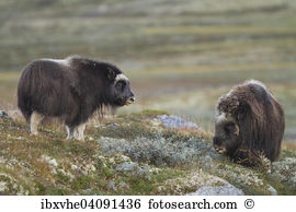 Musk ox Stock Photos and Images. 582 musk ox pictures and royalty.