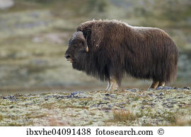 Bull ox Stock Photo Images. 3,901 bull ox royalty free pictures.