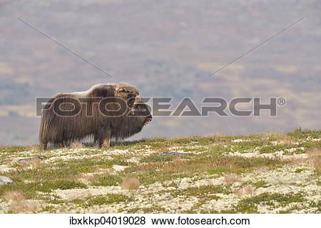 "Pictures of ""Musk ox (Ovibos moschatus), bull on the fjell."