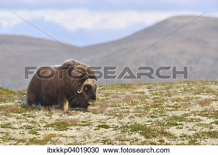 "Stock Photography of ""Musk ox (Ovibos moschatus), bull on the."