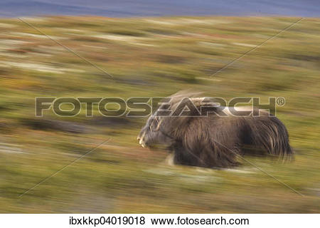 "Pictures of ""Musk ox (Ovibos moschatus), Bull runs on the fjell."