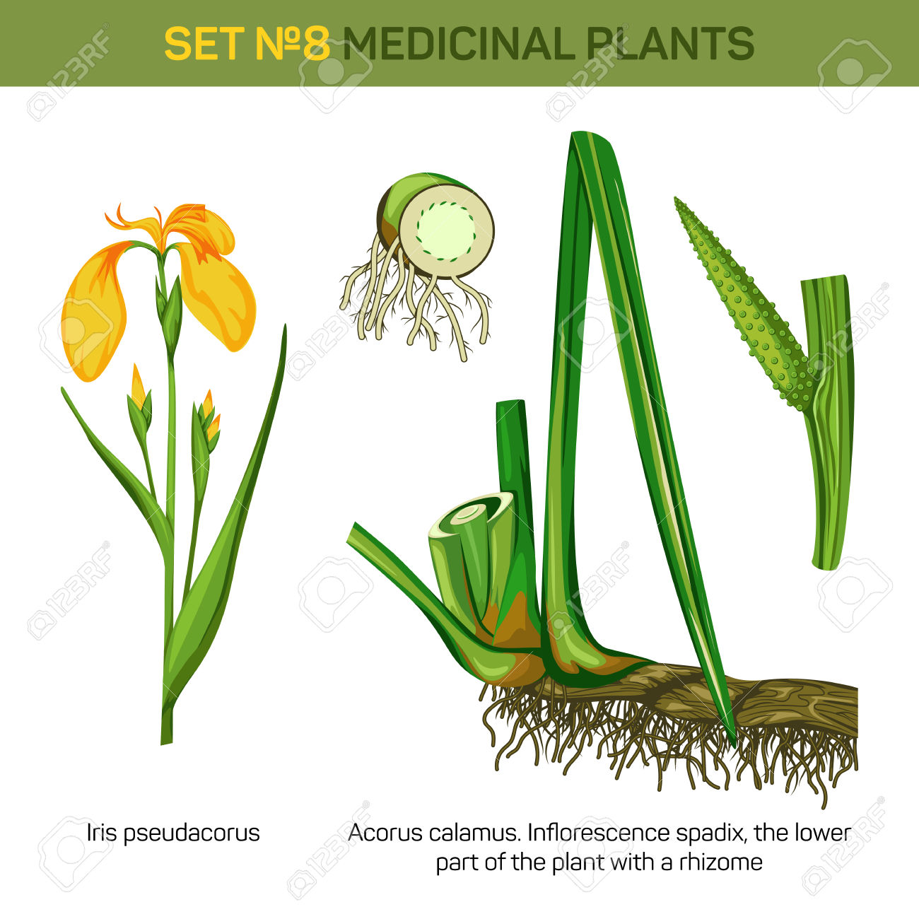 Medical Iris Pseudacorus Or Yellow And Water Flag, Lever And.