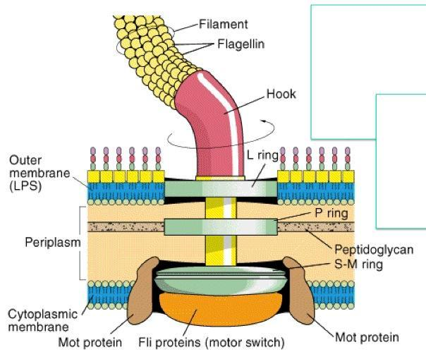 Bacterial Flagella: Structure, importance and examples of.