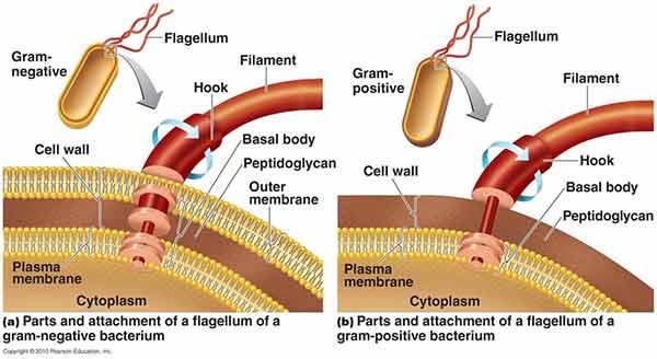 Flagella.