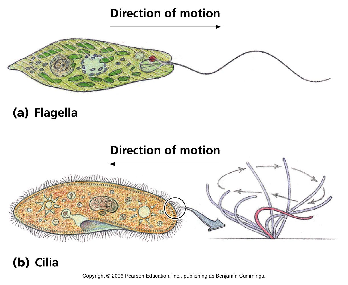 Biology Pictures: Flagella and Cilia Motion.