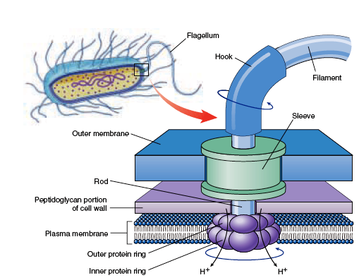 Are prokaryotic flagella and eukaryotic flagella different in.