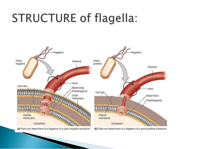 flagella structure and function.