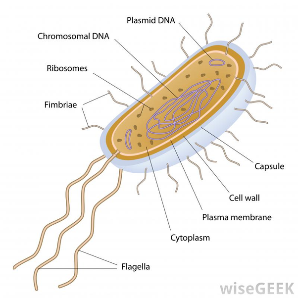 What are flagella?.